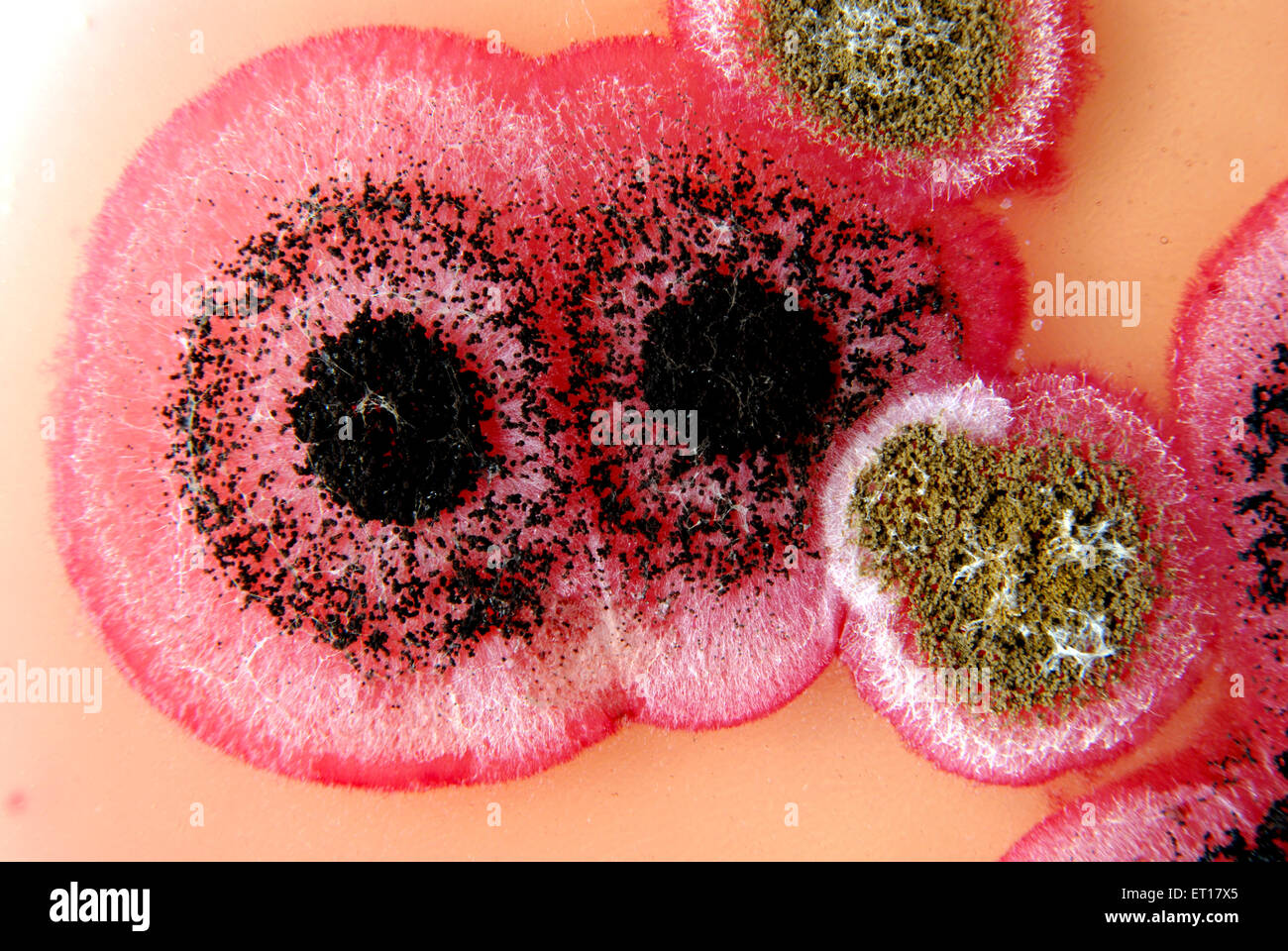 Scientific research fungal colonies cotton seeds on rose bengal chloramphenecal agar - Stock Image