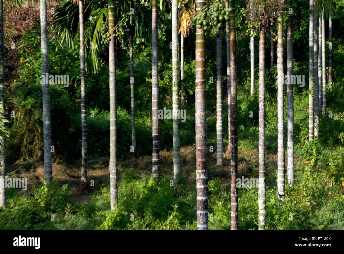 Betel nut areca nut ; Port Blair ; South Andaman Islands ; Bay of Bengal ; India October 2008 - Stock Image