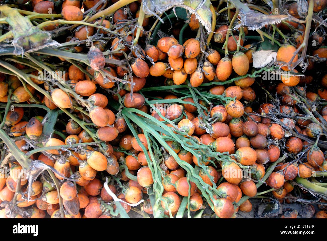 Drying betel nuts ; Andaman and Nicobar Islands ; India - Stock Image