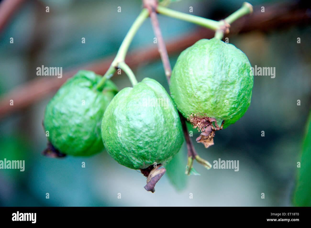 Guava Fruit on Plant Stock Photo: 83622112 - Alamy