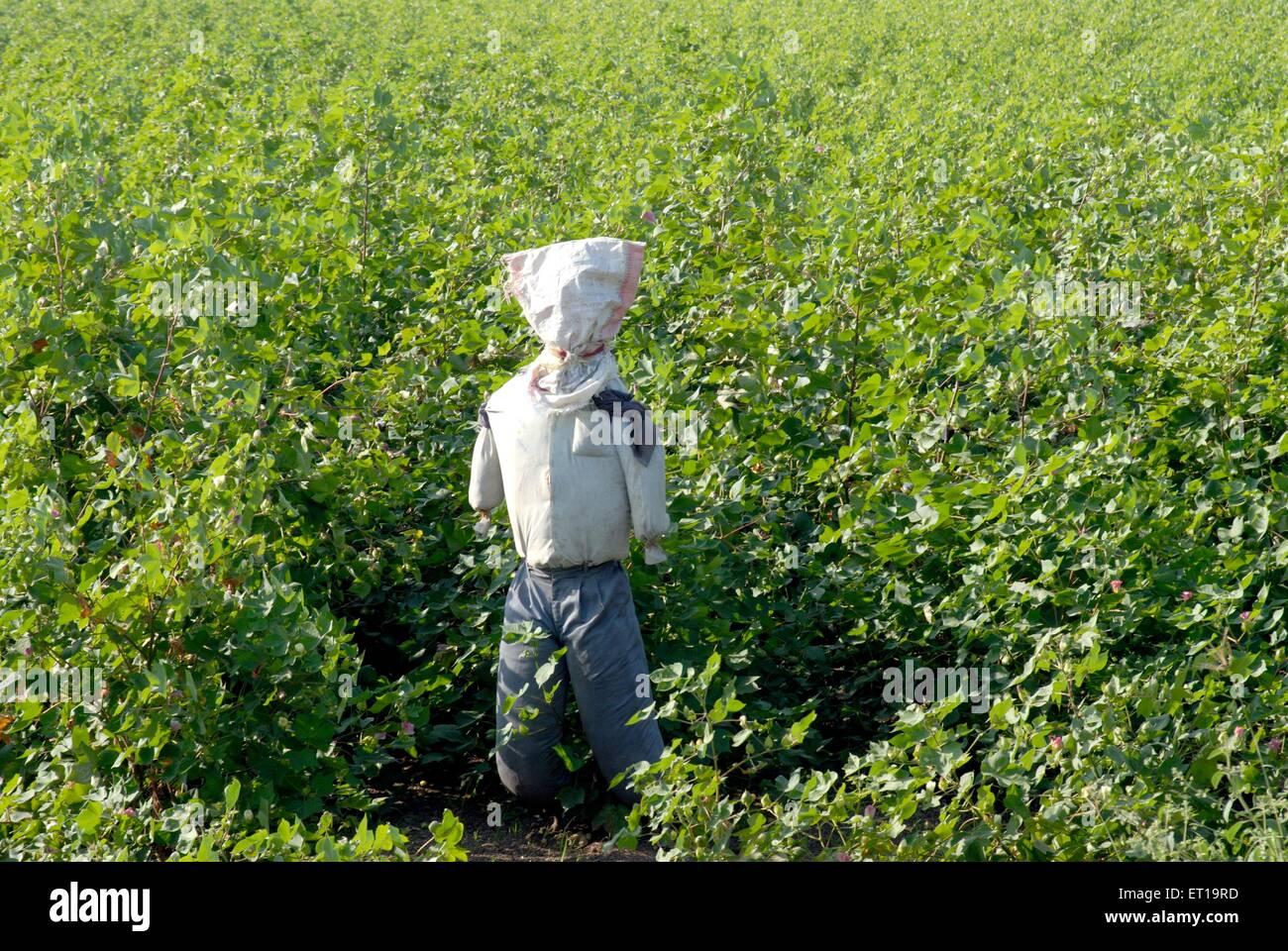 Scarecrow in cotton plant field ; Amreli ; Gujarat ; India - Stock Image