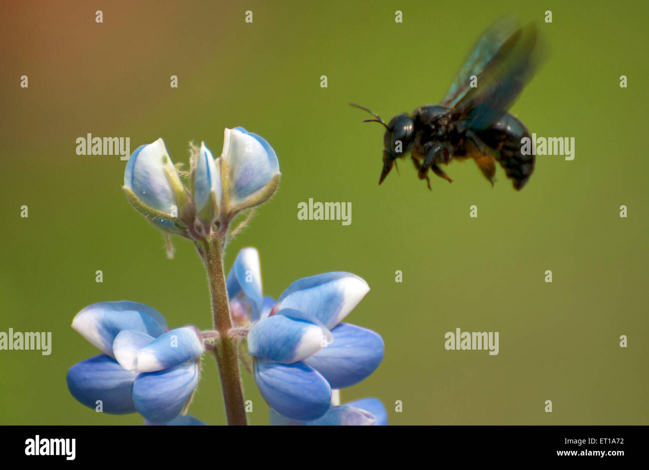 Honey Bee Collecting Nectar from Blue Flower Kolkata India Asia - Stock Image