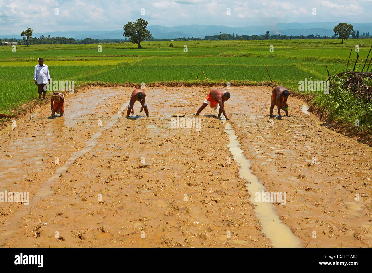 Experimenting with new technique of rice plantation initiative started by NGO Chinmaya Organization of Rural - Stock Image