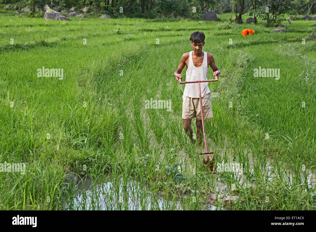 Rural youth using weeding implement in paddy field socio economic initiative by NGO Chinmaya Organization of Rural - Stock Image