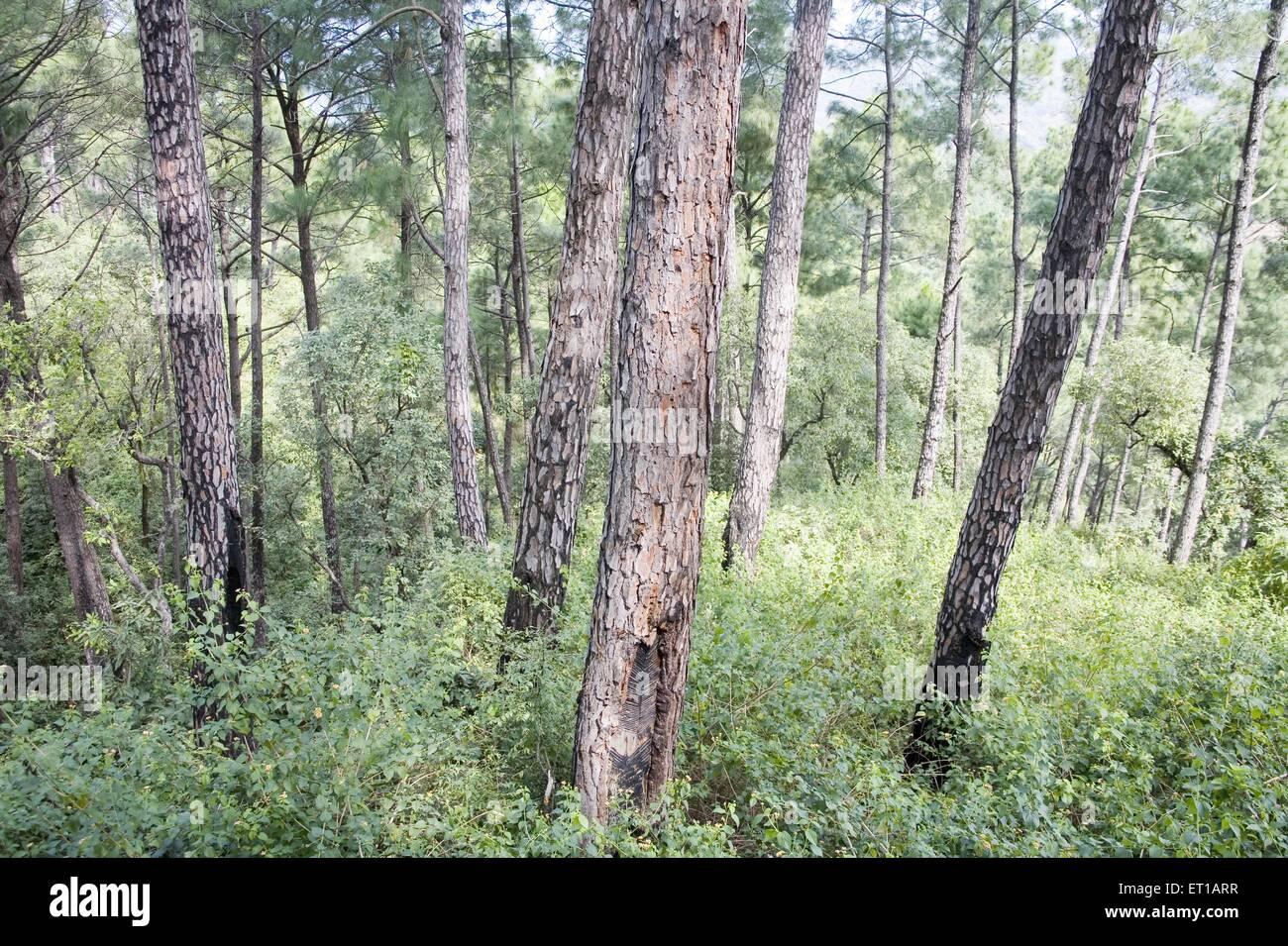 Pine trees forest in Himalaya ; Hamir pur ; Himachal Pradesh ; India - Stock Image