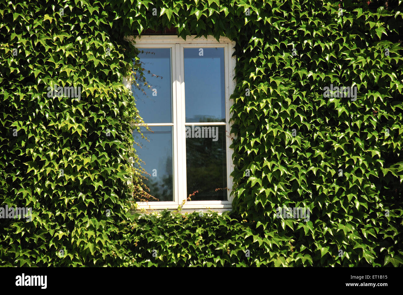 window surrounded with creeper lubeck germany - Stock Image