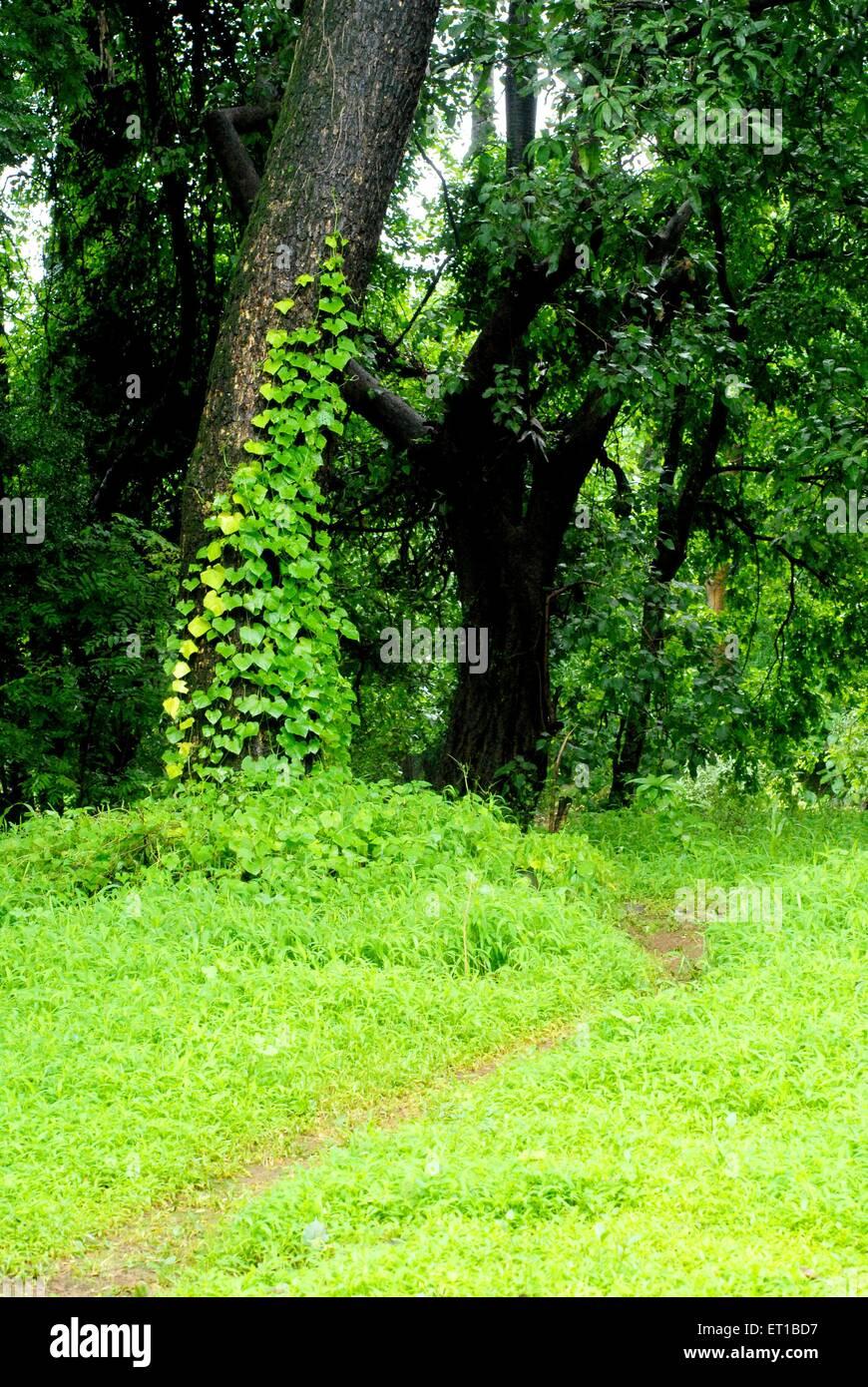 Tree with a creeper at Sanjay Gandhi National Park ; Borivali ; Bombay Mumbai ; Maharashtra ; India - Stock Image