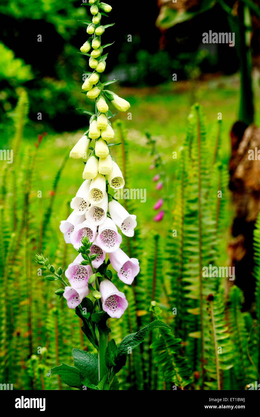 Flowers ; Digitalis common foxglove - Stock Image