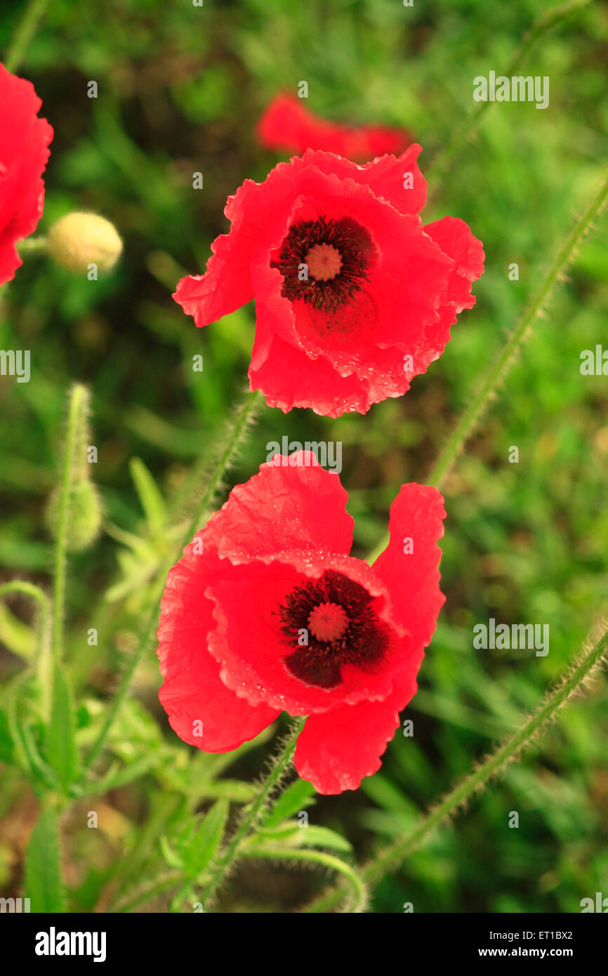 Flowers ; Scarlet flax - Stock Image