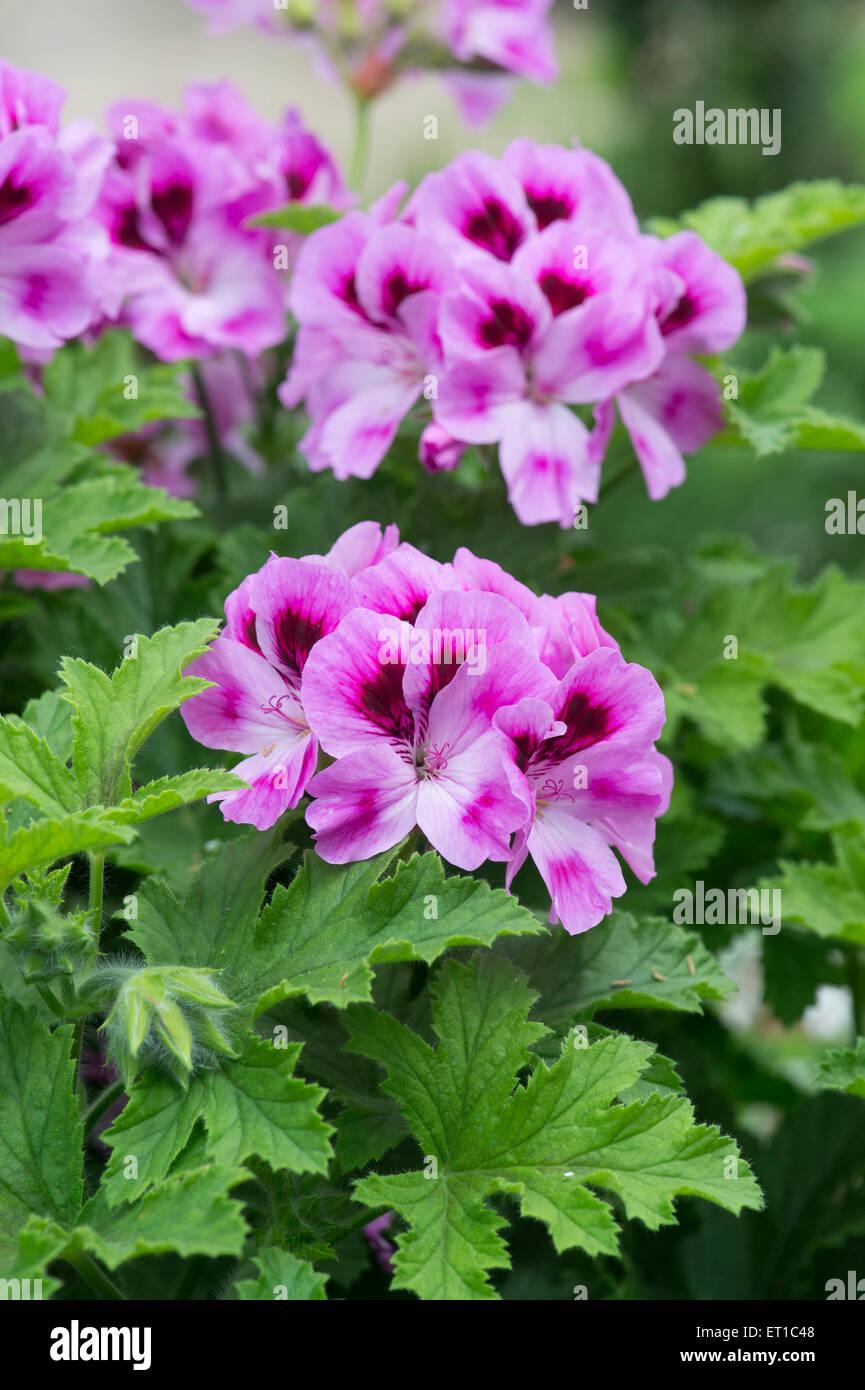Pelargonium 'orsett' flowers Stock Photo
