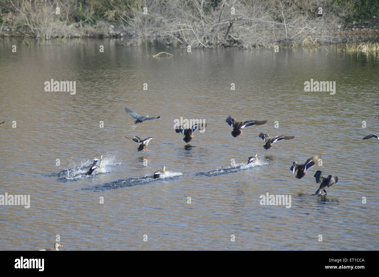 Birds flying over pond at Jodhpur Rajasthan India - Stock Image