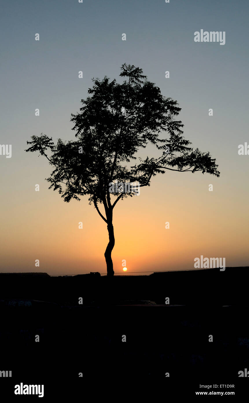 Neem tree Jodhpur Rajasthan india - Stock Image