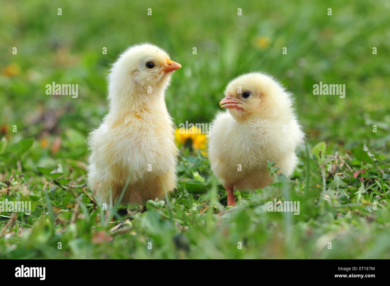 Two young chickens in a grass - Stock Image
