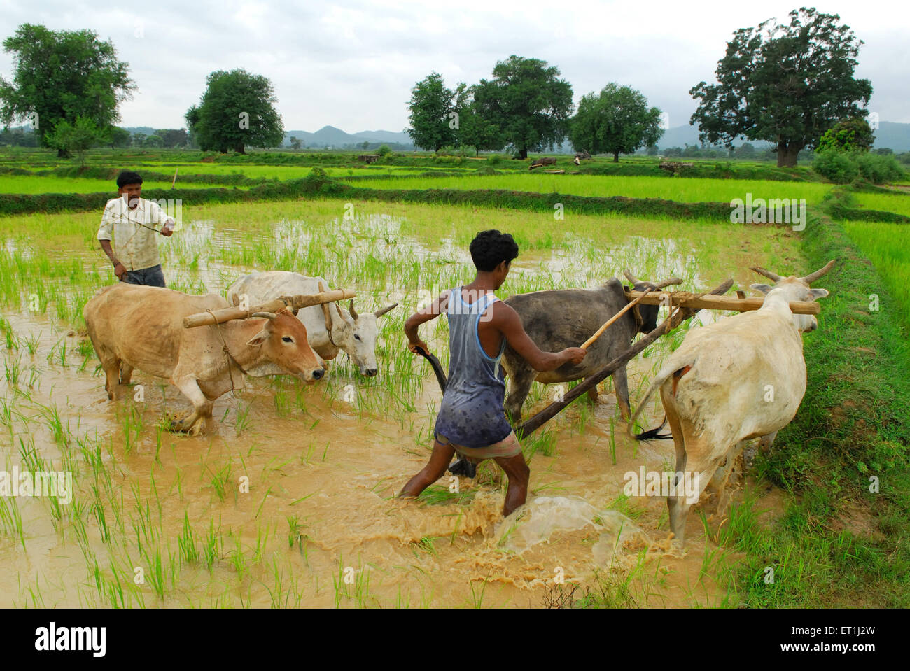Ho tribes men with bullocks in paddy field ; Chakradharpur ; Jharkhand ; India NO MR - Stock Image