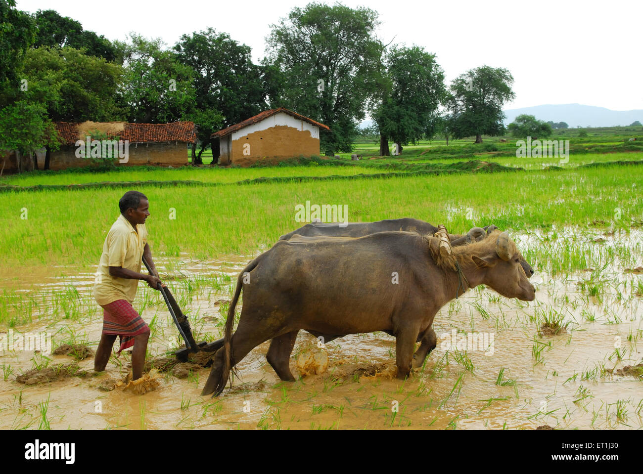 Ho tribes men with buffaloes in paddy field ; Chakradharpur ; Jharkhand ; India NO MR - Stock Image