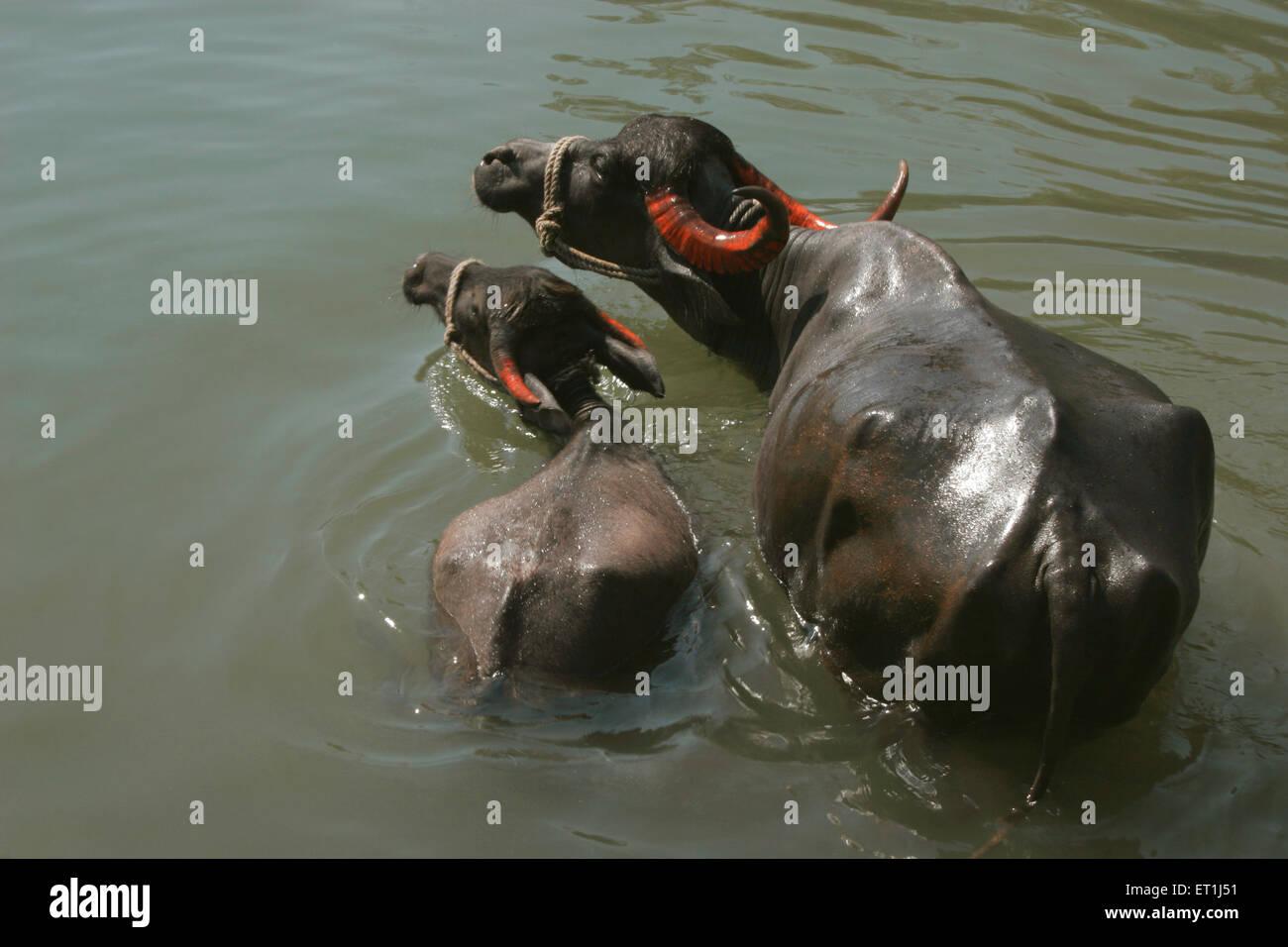 Black buffalos mother and young swimming and bathing in green waters of river Krishna ; Menauli ; Wai ; Maharashtra - Stock Image