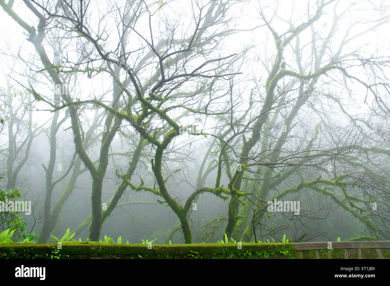 Foggy monsoon atmosphere amidst trees covered with moss ; Mahabaleshwar ; Maharashtra ; India 19 Jul 2008 - Stock Image