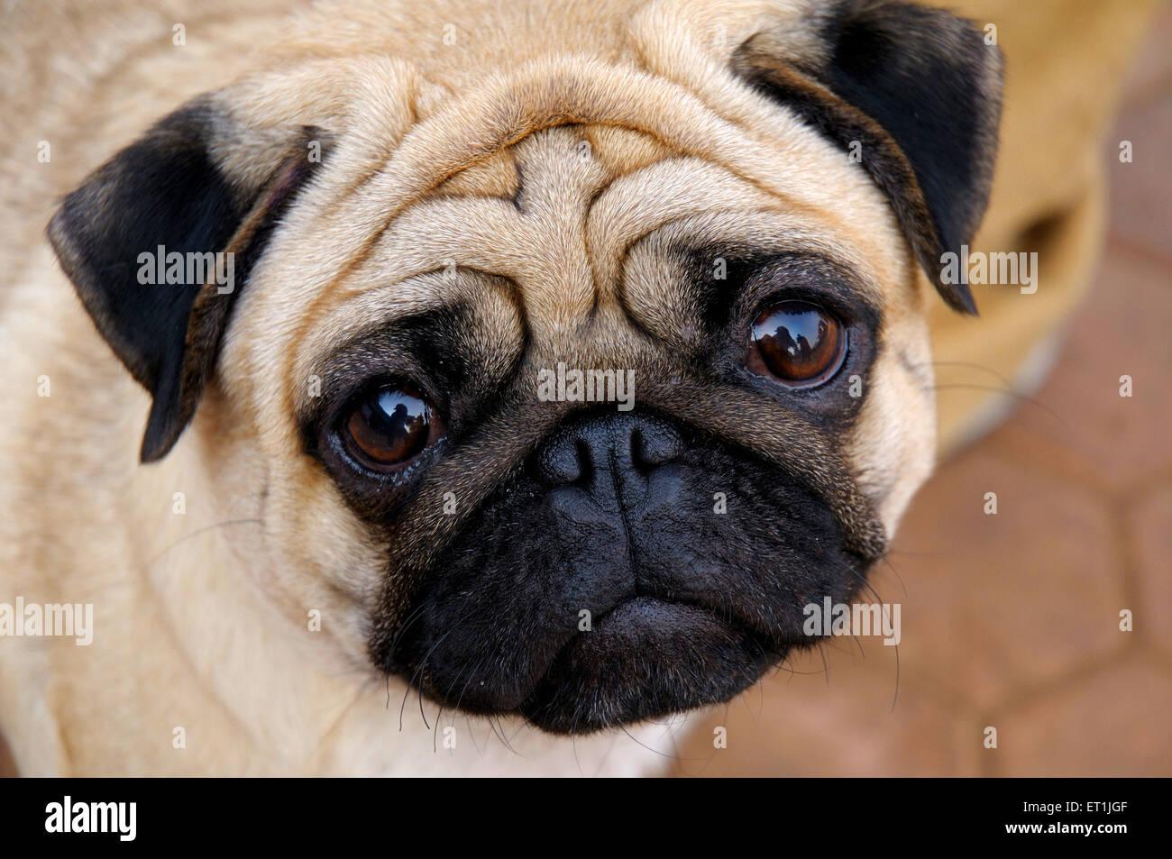 Dog pug ; Pune ; Maharashtra ; India 17 January 2009 - Stock Image