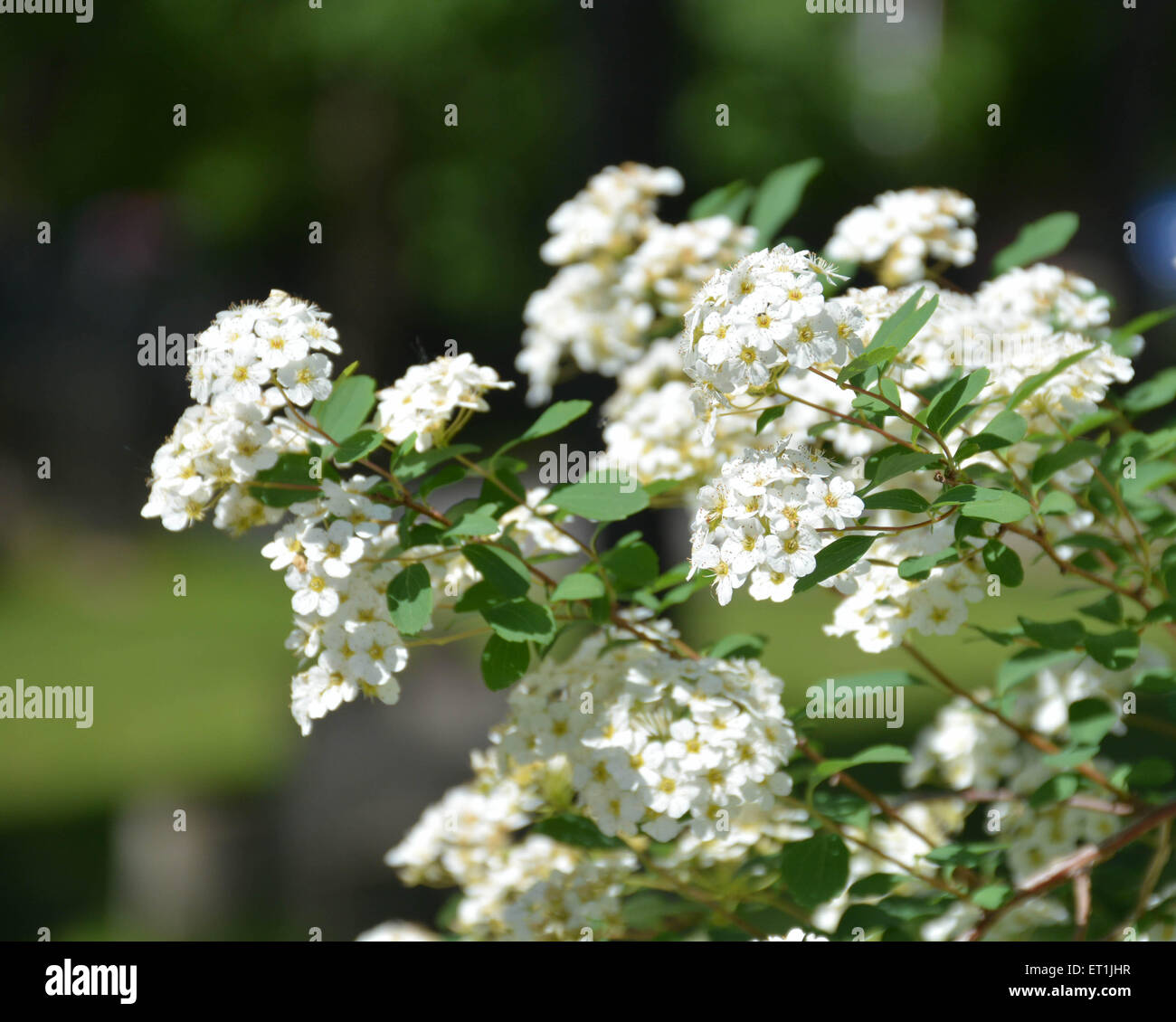 White Flowers with Blurred Background-2 - Stock Image