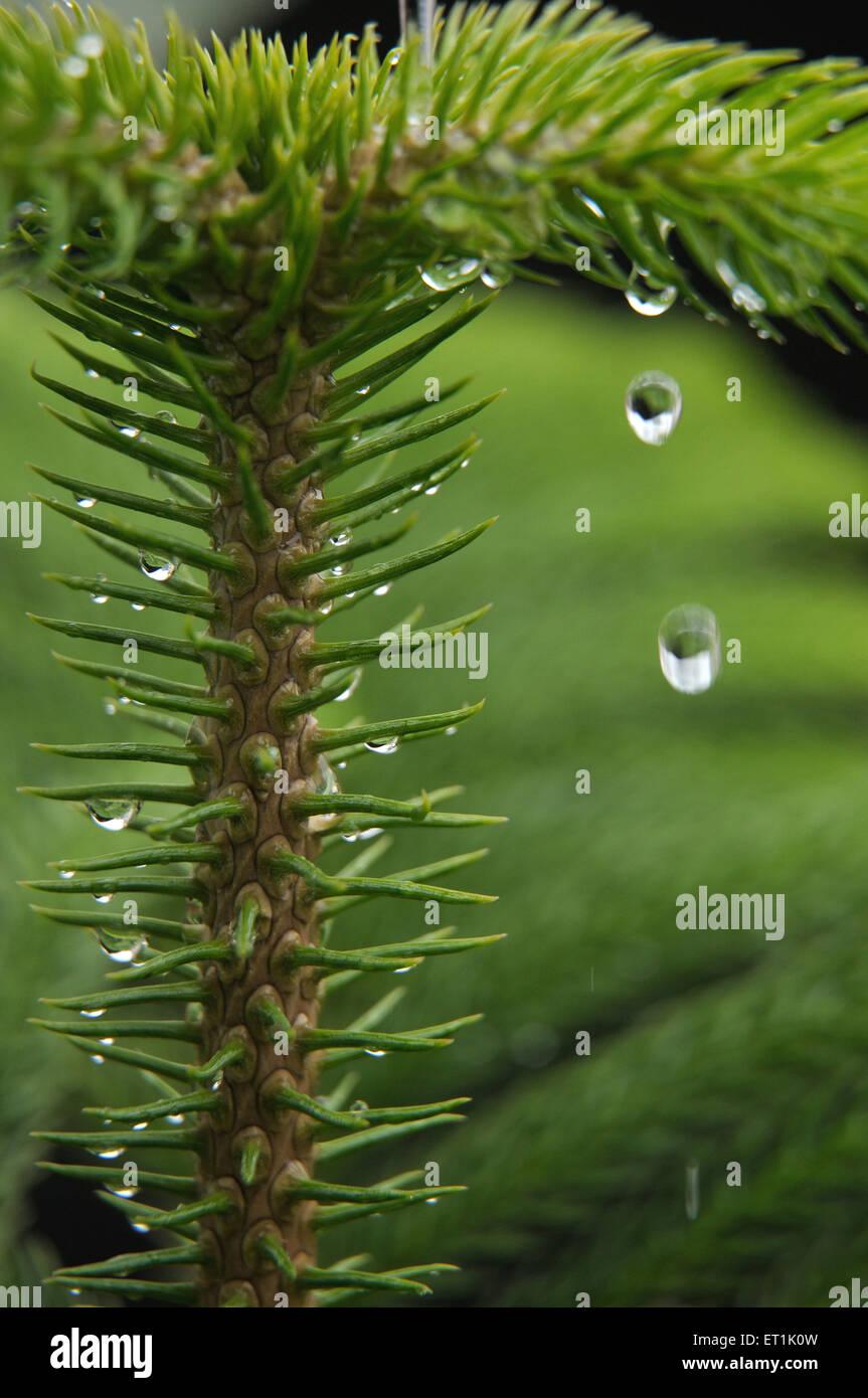 Nordmann fir abies nordmanniana 16 November 2009 - Stock Image