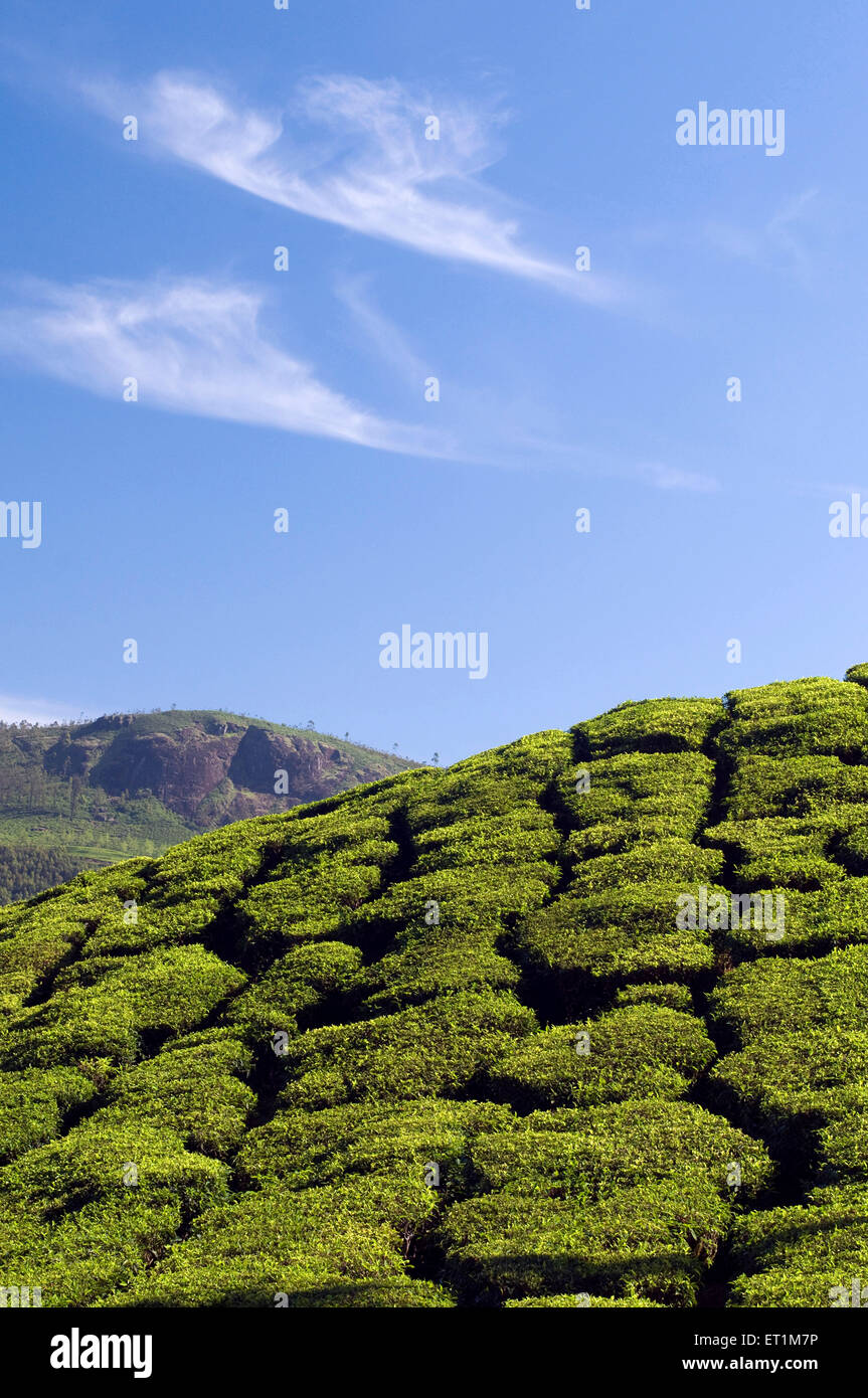 Landscape with tea plantations on the slopes of a mountain Munnar Kerala India Asia - Stock Image