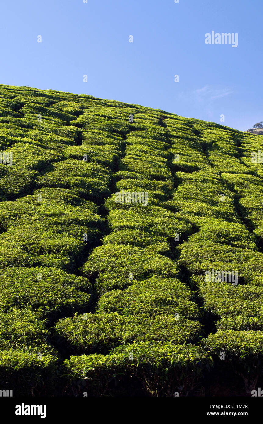 A Landscape of tea plantations on the slopes of a mountain Munnar Kerala India Asia - Stock Image
