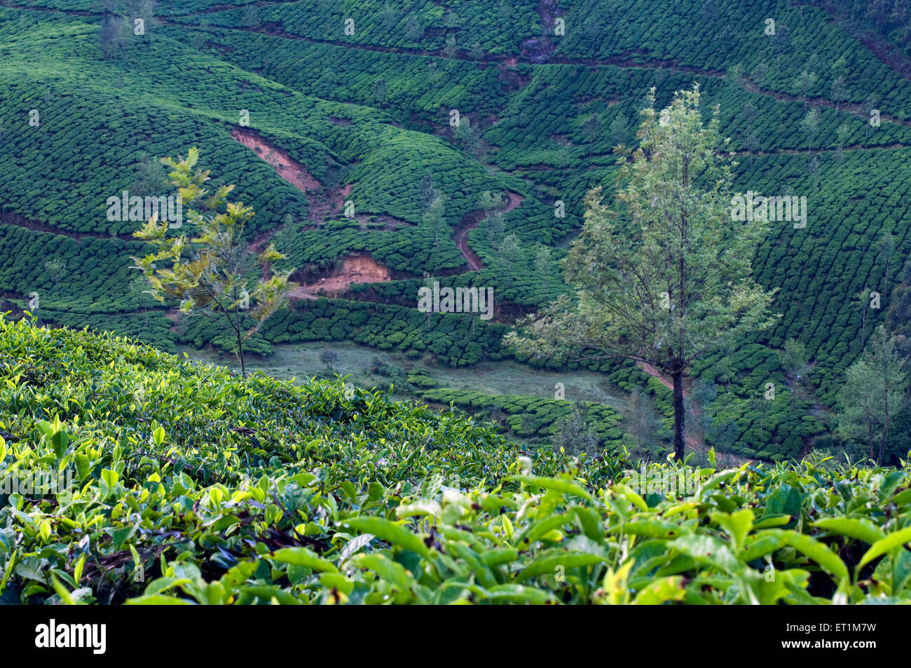 Landscape with fresh green tea plantations and two trees Munnar Kerala Indian Asia - Stock Image