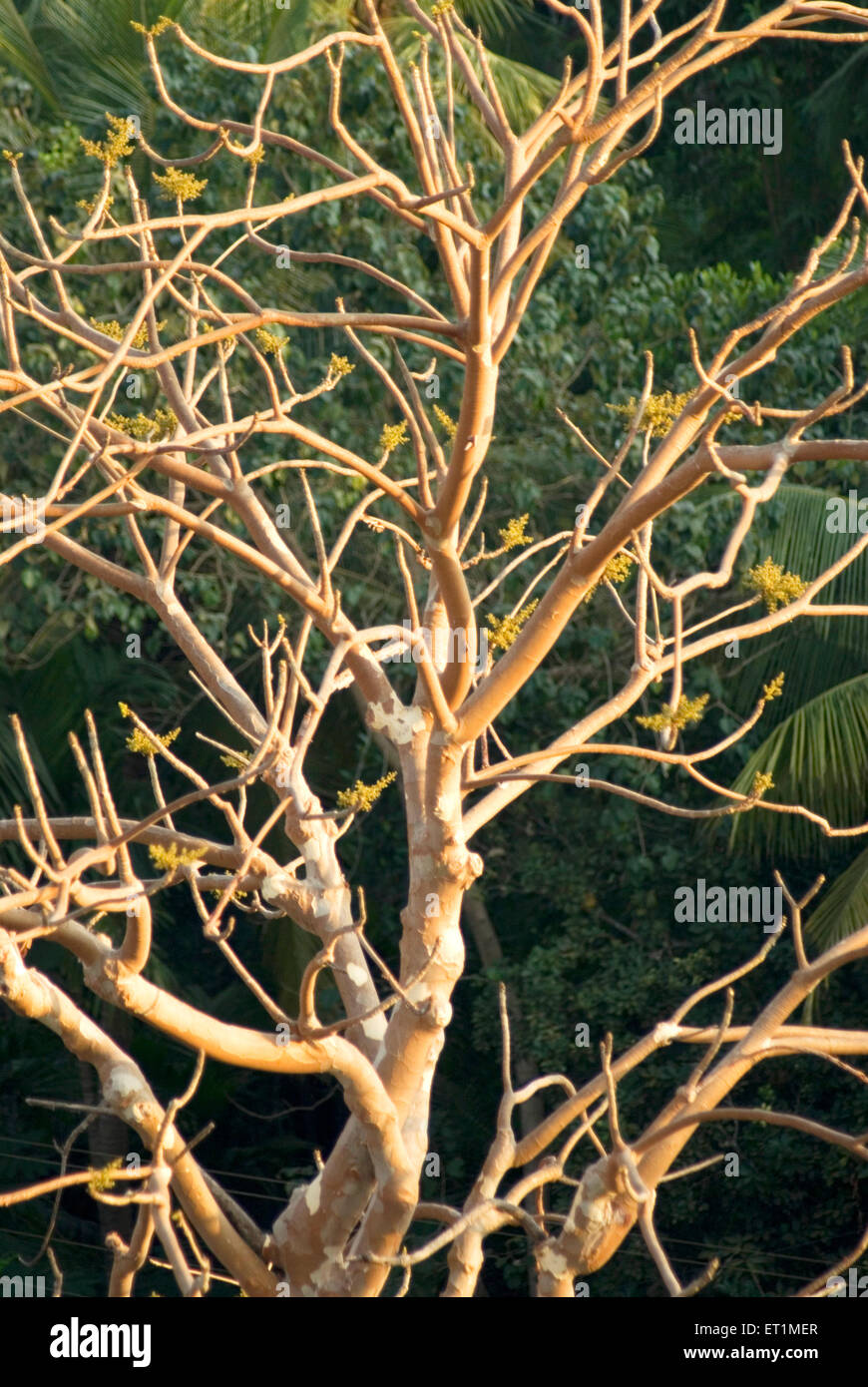 Branches of kandol sterculia urens tree in morning light ; Anjarle village ; district Dapoli ; Maharashtra ; India - Stock Image