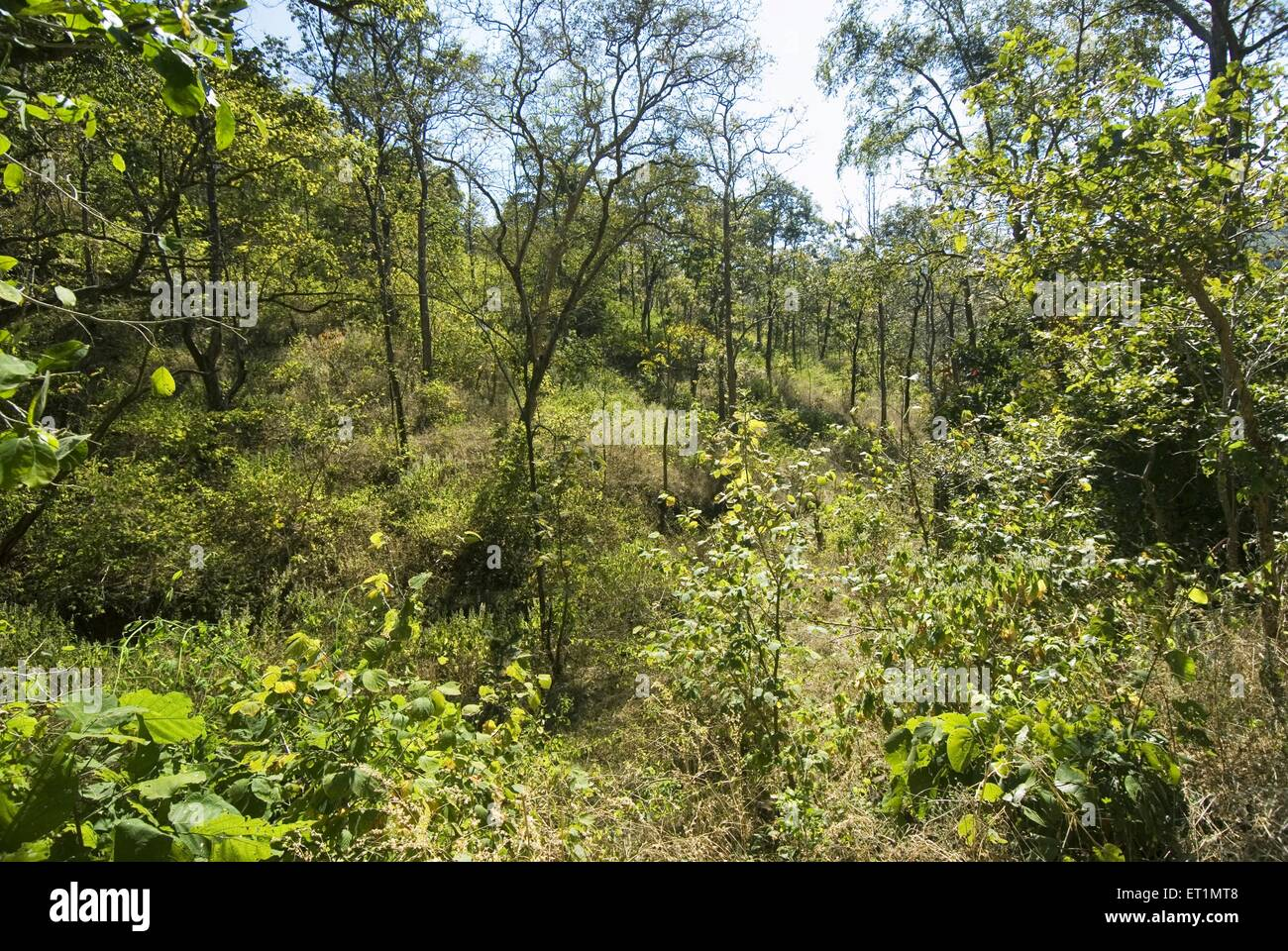 Vegetation and greenery and shrubbery deep forest at Melghat sanctuary ; district Amravati ; Maharashtra ; India - Stock Image