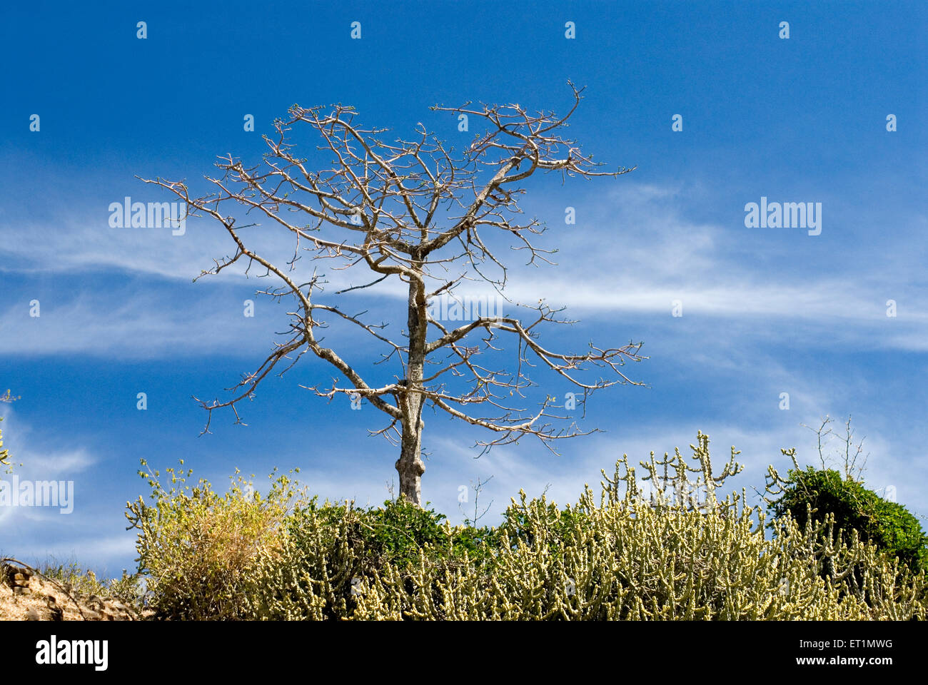 Leafless tree of silk cotton and cactus at Gavilgad fort at Chikhaldara ; district Amravati ; Maharashtra ; India - Stock Image