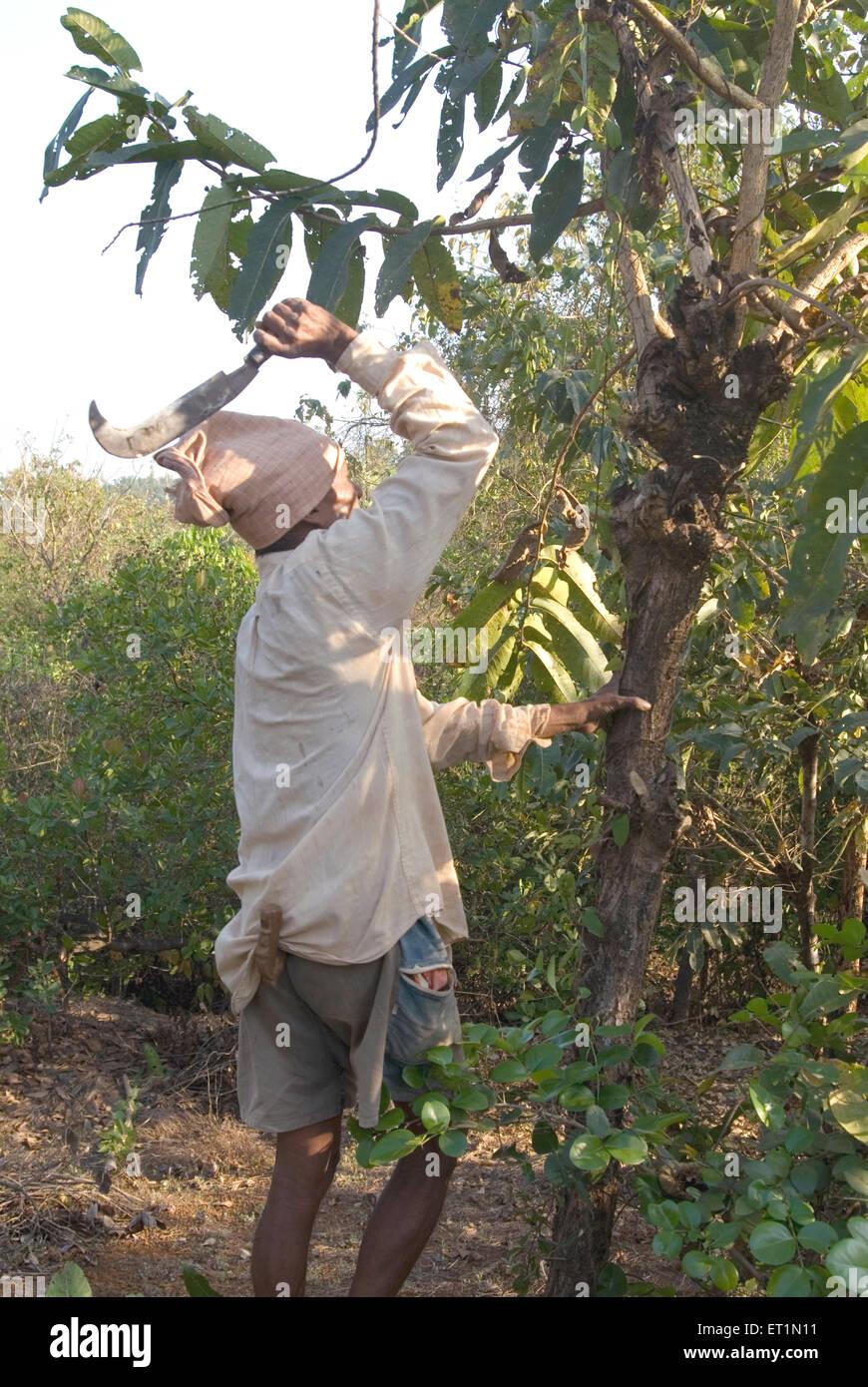 Man cutting tree for local use with help of sickle at Lanja village ; district Ratnagiri ; Maharashtra ; India - Stock Image