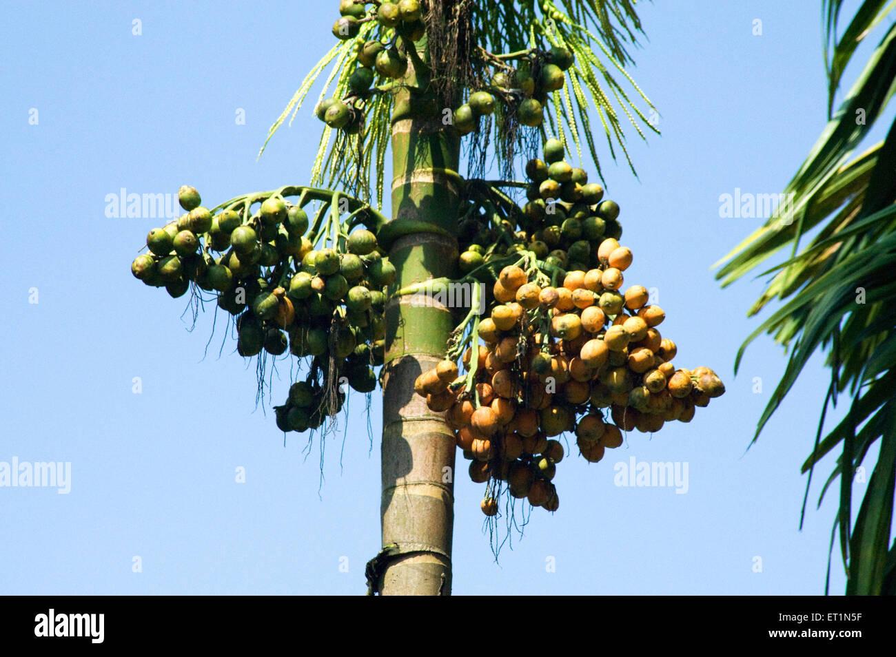 Betel nut on tree ; Karnataka ; India - Stock Image