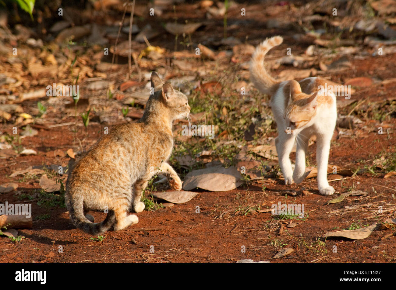 Cats fighting - Stock Image
