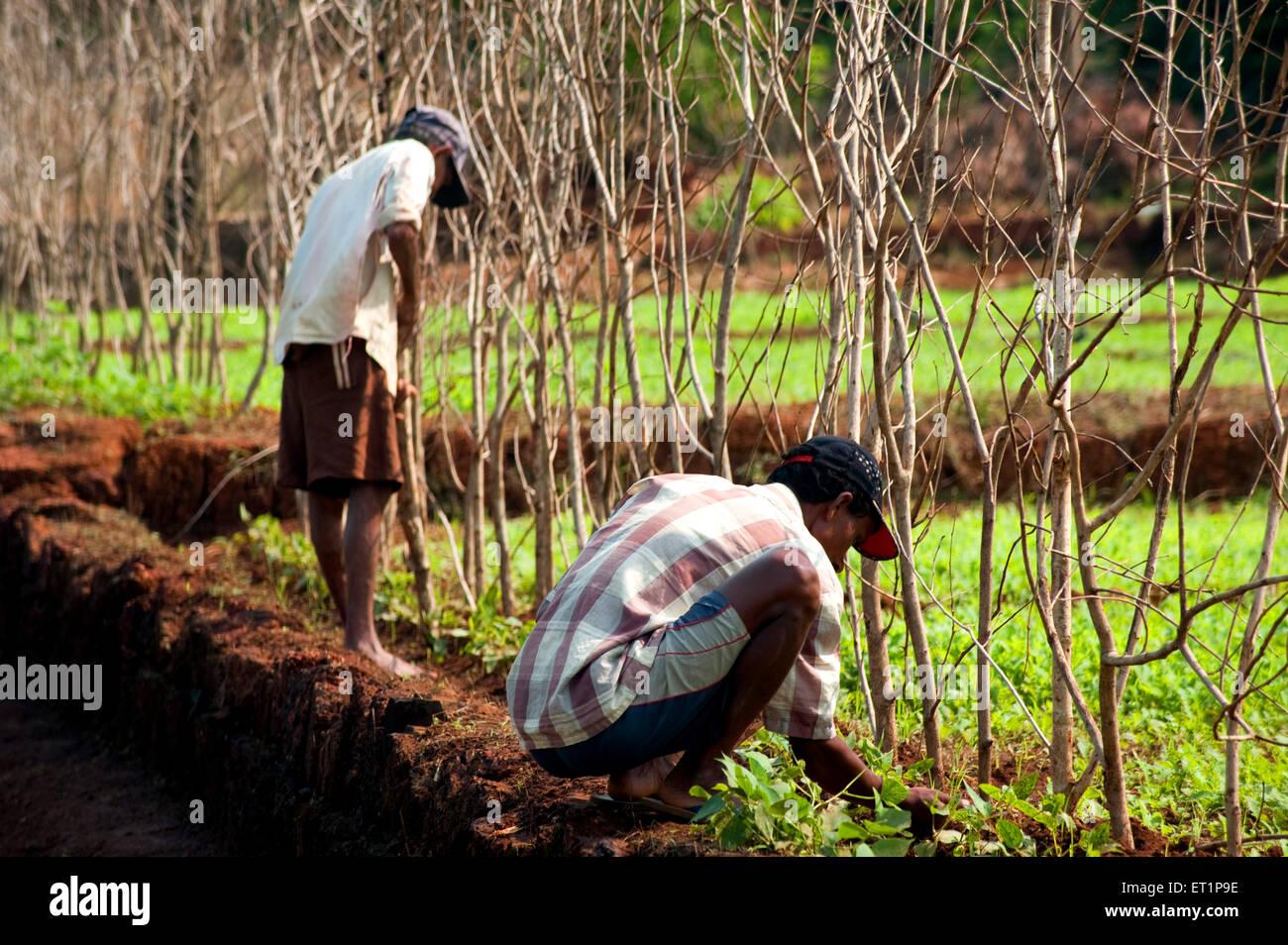 Farmer fencing in village at Lanja ; Ratnagiri ; Maharashtra ; India - Stock Image