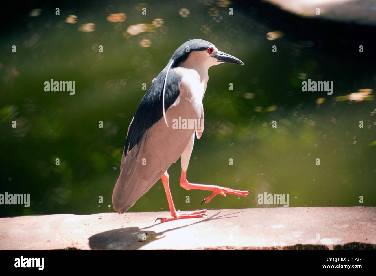 Birds ; night heron nycticorax nycticorax - Stock Image