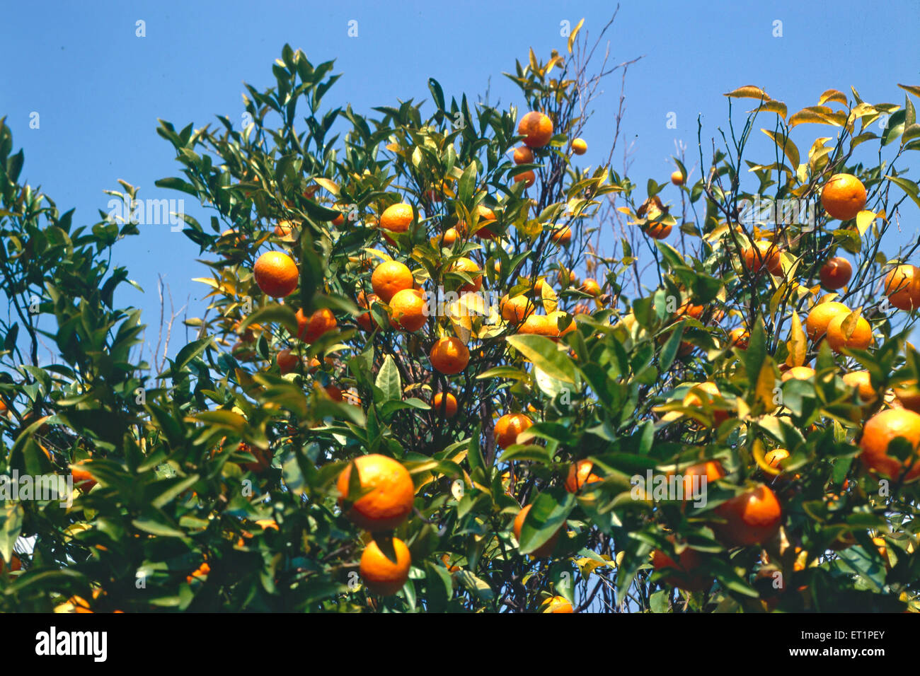 Cultivation of oranges in palampur ; Himachal Pradesh ; India - Stock Image