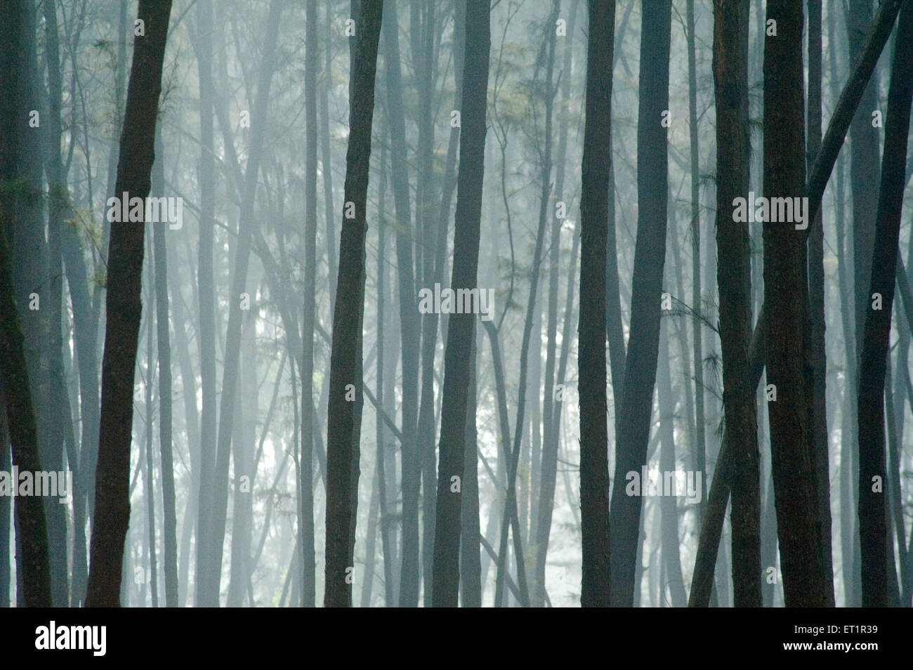 Beefwood trees suru casuarina equisetifolia at nagaon ; Alibag ; Maharashtra ; India - Stock Image
