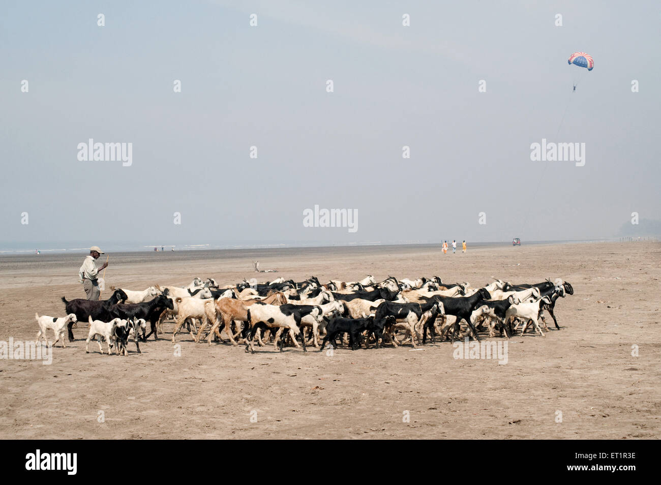 Shepherd with goats at nagaon beach ; Alibag ; Maharashtra ; India - Stock Image