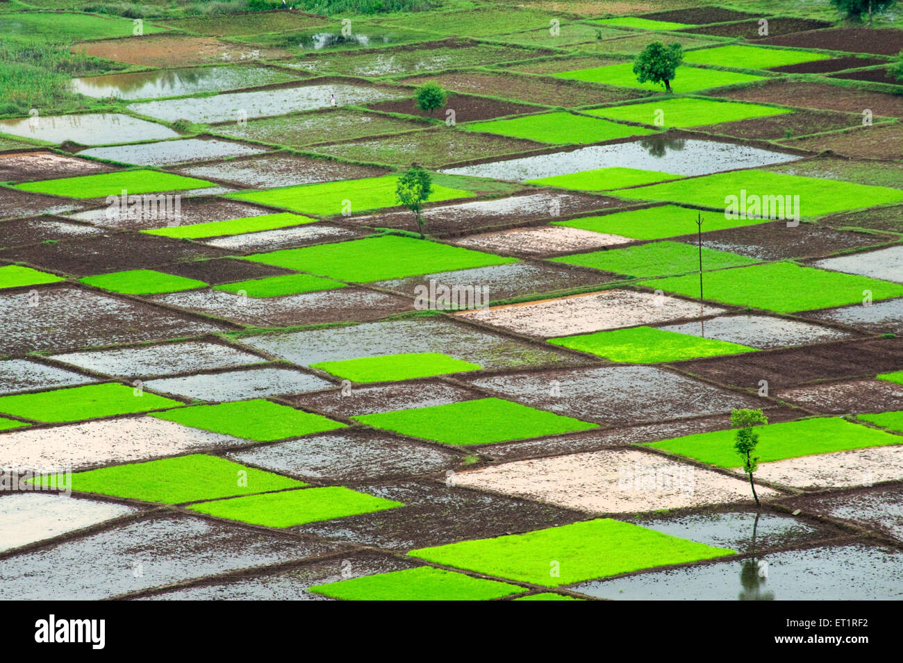 Paddy rice field in squares pattern in monsoon Chiplun Ratnagiri Maharashtra India - Stock Image
