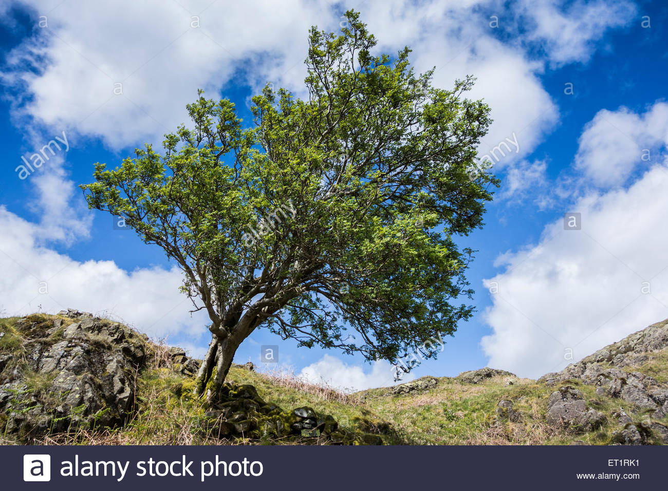 Lone tree on the Lake District fells above Tarn Howes, bent by the prevailing wind - Stock Image