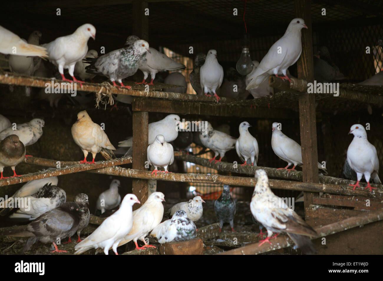 Pigeons in cage ; Bombay Mumbai ; Maharashtra ; India - Stock Image