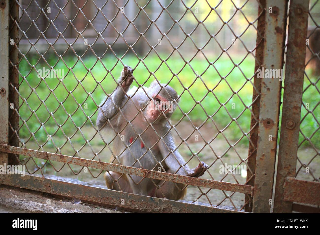 Monkey in cage at zoo  ; Bombay Mumbai ; Maharashtra ; India - Stock Image