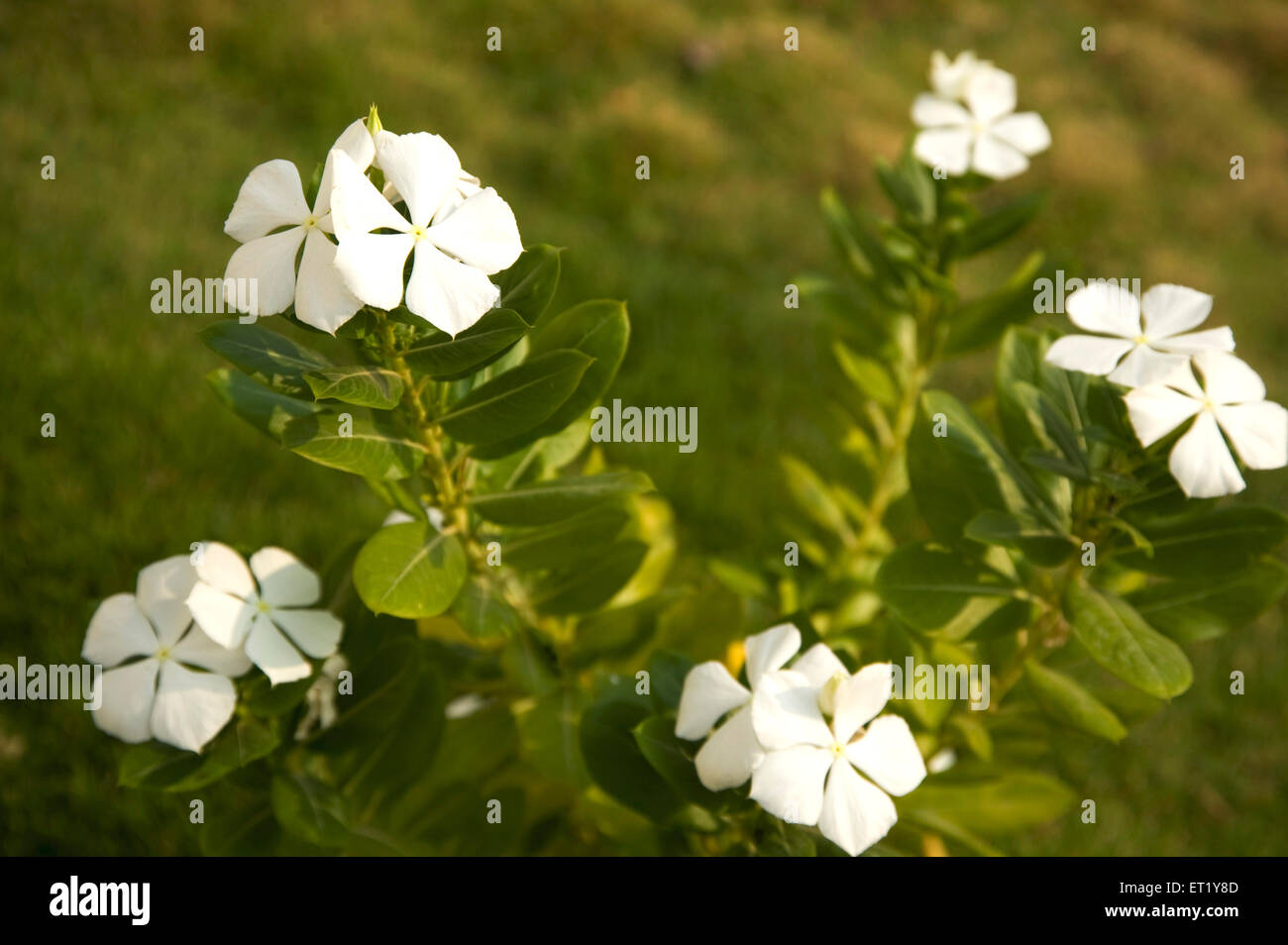 White flower common name creeping phlox botanical name phlox white flower common name creeping phlox botanical name phlox subulata family polemoniaceae phlox family india mightylinksfo