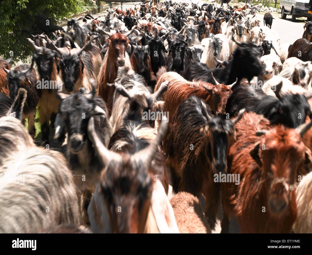 Herd Of Goats ; Srinagar ; Kashmir ; India ;  Asia - Stock Image