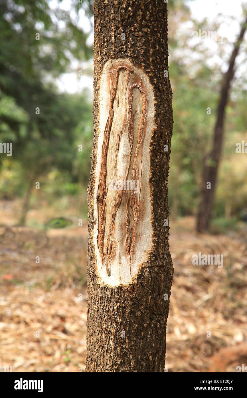 Trunk of tree removed texture in Sanjay Gandhi National Park ; Borivali ; Bombay Mumbai ; Maharashtra ; India - Stock Image