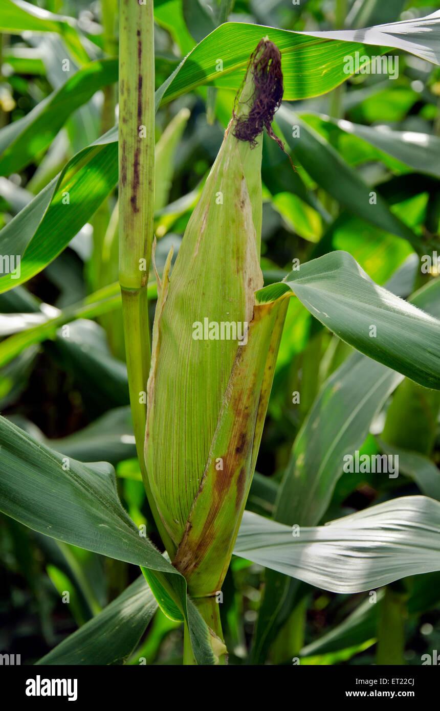 maize zea mays Ladgaon Shrirampur Ahmednagar Maharashtra India Asia - Stock Image