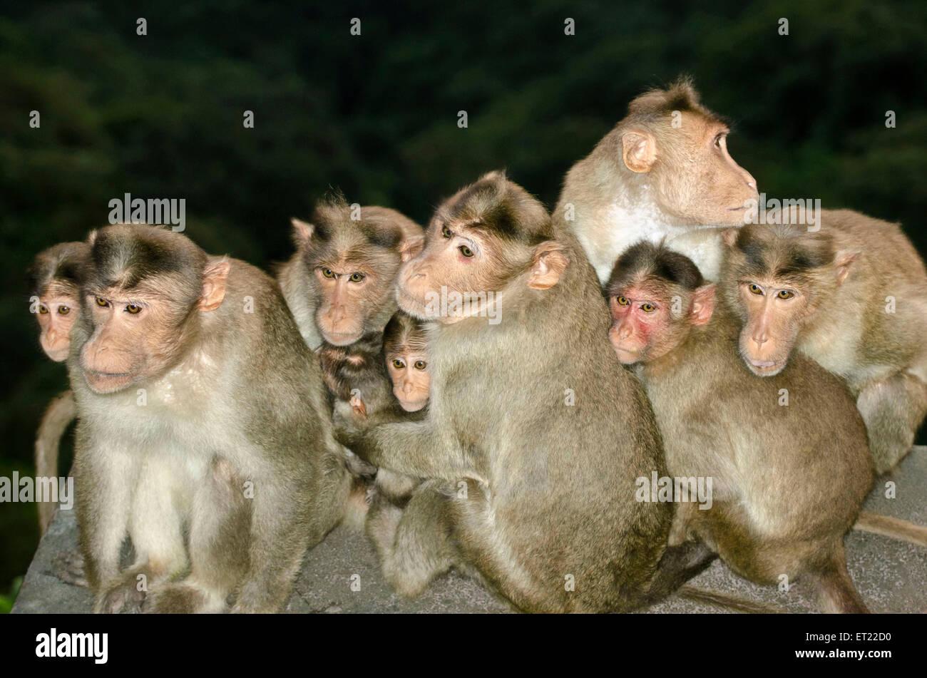 Bonnet macaques Macaca radiata Kolhapur Maharashtra India Asia - Stock Image