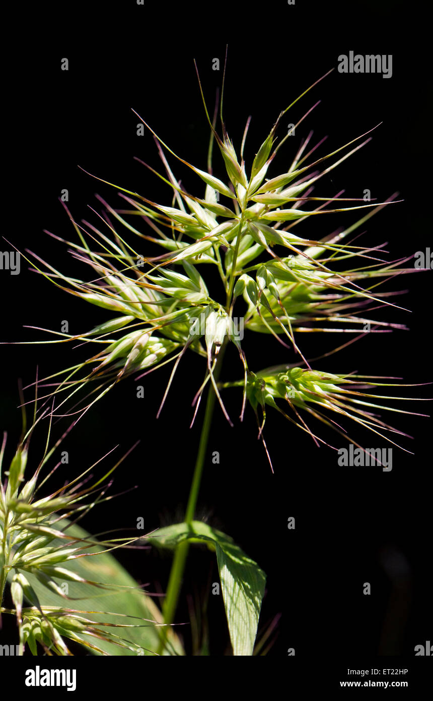 wildflower thistle Kaas plateau Satara Maharashtra India Asia - Stock Image