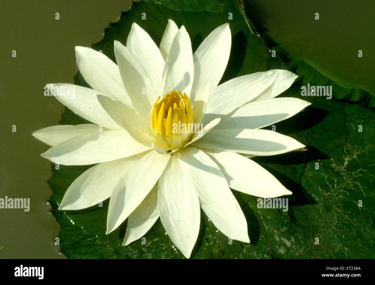 Buddhism Lotus Flower Stock Photos Buddhism Lotus Flower Stock