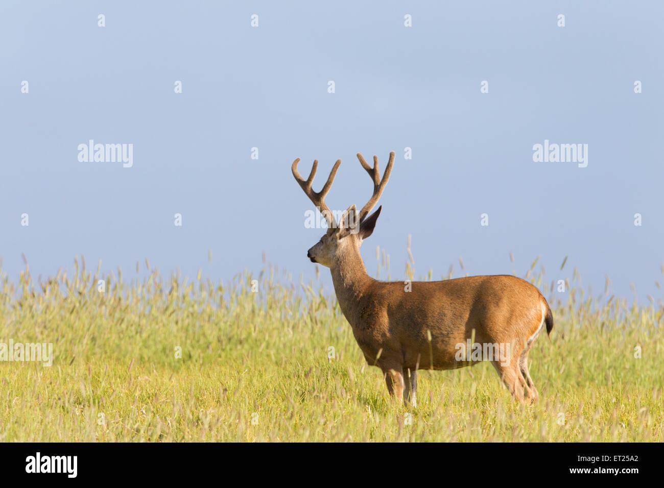 Black-tailed Deer - Stock Image